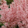 "astilbe Look at Me [17""]"