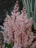 "astilbe Look at Me [17""]<br>^^^ SOLD OUT ^^^"