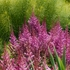 "astilbe Maggie Daley [28""]"
