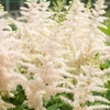 astilbe<BR>'Milk & Honey'