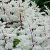 "astilbe Rock & Roll [20""]"