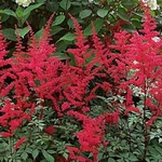 "astilbe Spartan [30""]<br>^^^ SOLD OUT ^^^"