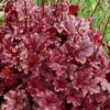 heuchera Berry Marmalade<br>WHOLESALE LINER