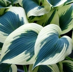 Blue Ivory<BR>SMALL STARTER PLANT