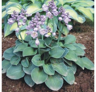 Hosta Blue Mouse Ears Tiny Mini Dwarf Perennial
