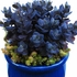 """sedum Blue Pearl [20""""]<br>^^^ SOLD OUT ^^^"""