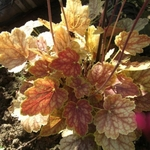 "heuchera Blushing Dawn [12""]"