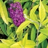 butterfly bush Evil Ways