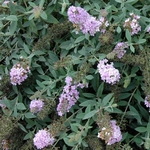 butterfly bush Lilac Chip [1qt]