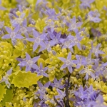 "campanula Dickson's Gold [6""]<br>^^^ SOLD OUT ^^^"