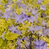 campanula Dickson's Gold<br>^^^ SOLD OUT ^^^