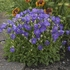 "campanula Pearl Deep Blue [8""]<br>^^^ SOLD OUT ^^^"