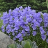 "campanula Takion Blue  [20""]<br>^^^ SOLD OUT ^^^"