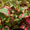 Chameleon Plant<BR>^^^ SOLD OUT ^^^