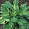 click here for more hostas that are<br>STREAKED or MISTED