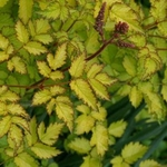 "astilbe Color Flash Lime [24""]"