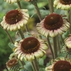 "coneflower Caribbean Green [24""]"