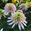 "coneflower Cherry Fluff [20""]<BR>^^^ SOLD OUT ^^^"