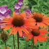 "coneflower Dixie Blaze [25""]"