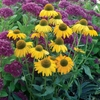 "coneflower Dixie Sun [24""]"