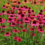 "coneflower Sensation Pink [18""]"