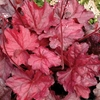 heuchera Fire Chief<BR>WHOLESALE LINER