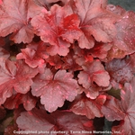 heuchera Galaxy<BR>WHOLESALE LINER