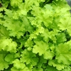 heuchera Lime Rickey<br>WHOLESALE LINER