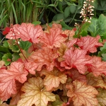 heuchera Paprika<br>WHOLESALE LINER