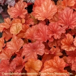 heuchera Rio<BR>WHOLESALE LINER