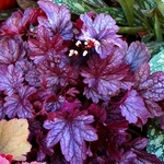 heuchera Shanghai<BR>WHOLESALE LINER