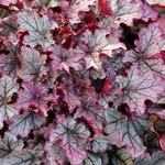 heuchera Spellbound<BR>WHOLESALE LINER