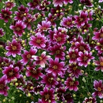 "coreopsis Berry Chiffon [18""]<br>^^^ SOLD OUT ^^^"