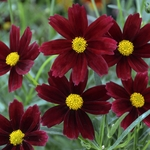 "coreopsis Red Elf [10""]<BR>^^^ SOLD OUT ^^^"