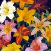 DAYLILY SELECTIONS