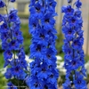 "delphinium Million $ Blue [36""]<br>^^^ SOLD OUT ^^^"