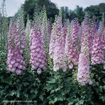 "delphinium Million $ Blush [36""]"