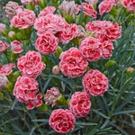 "dianthus Coral Reef [12""]"