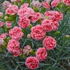 "dianthus Coral Reef [12""]<br>^^^ SOLD OUT ^^^"