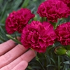"dianthus Cranberry Cocktail [10""]<br>^^^ SOLD OUT ^^^"