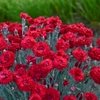 "dianthus Maraschino [11""]>br>^^^ SOLD OUT ^^^"