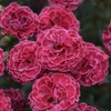 "dianthus Raspberry Ruffles [10""]<BR>^^^ SOLD OUT ^^^"