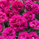 """dianthus Spiked Punch [8""""]"""