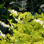 "dicentra White Gold [30""]"