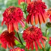 echinacea<br>HOT PAPAYA