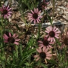 "coneflower Rocky Top [30""]"
