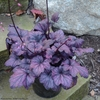 "heuchera Electric Plum [10""] v<BR> ^^^ SOLD OUT ^^^"