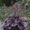 heuchera Grape Timeless