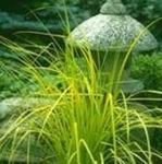 "grass Bowles Golden carex [24""]"
