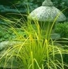 "grass Bowles Golden carex [24""]<br>^^^ SOLD OUT ^^^"